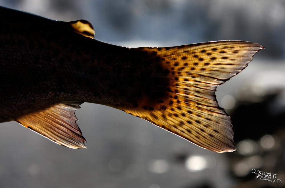 rainbow trout fins