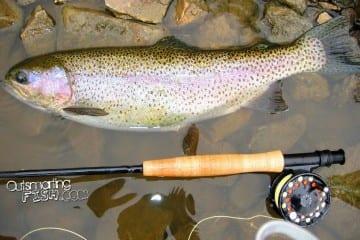 chucky-hen-rainbow-trout