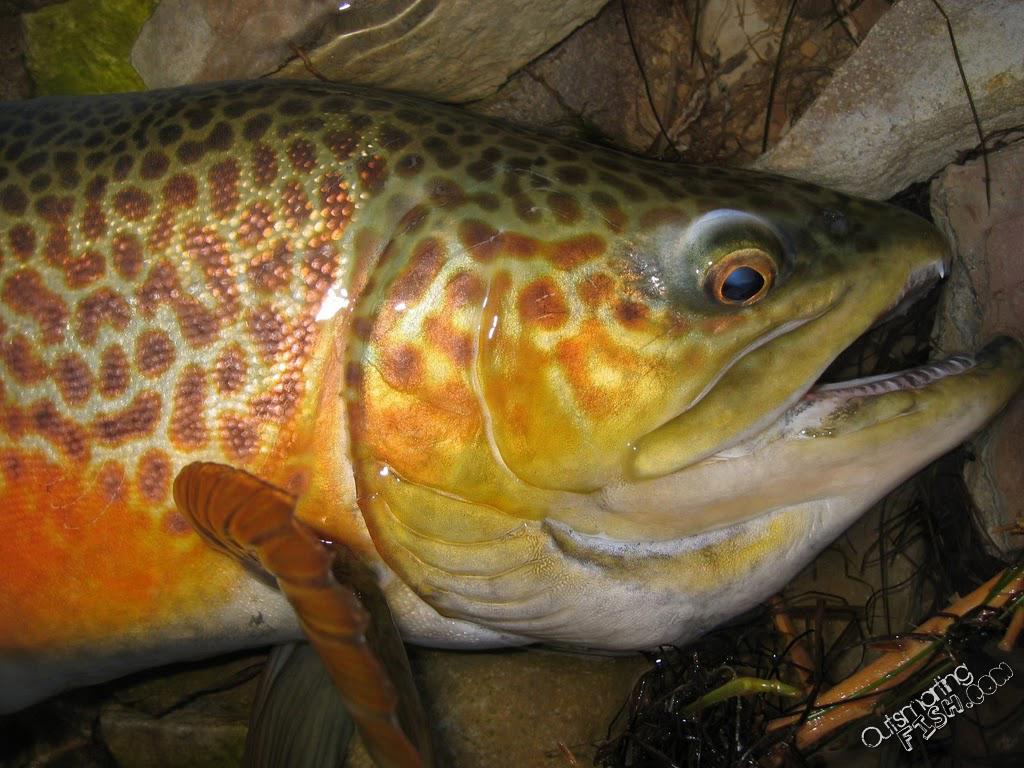 tiger-trout-closeup