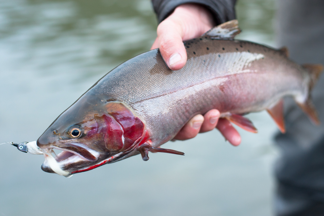 bonneville-cutthroat-utah-river
