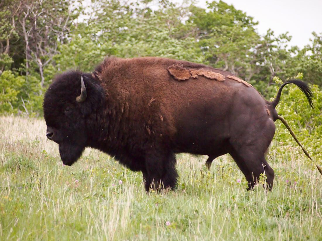 bison-shart