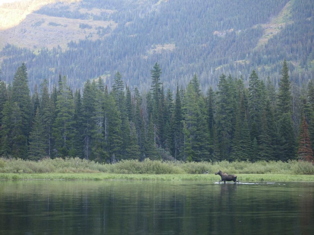 moose-rut
